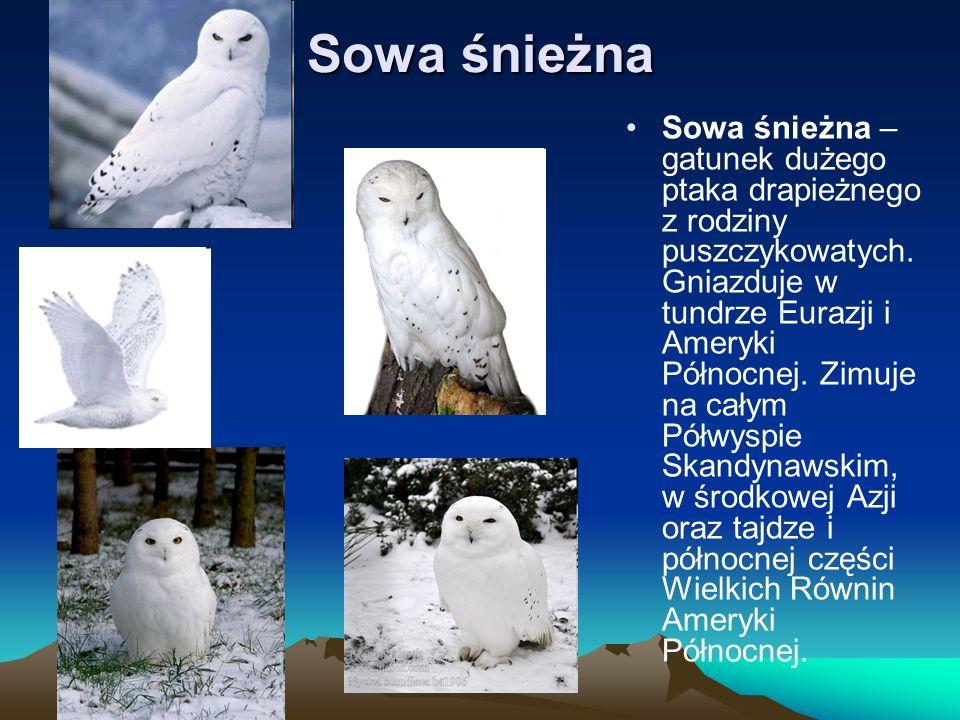 Sowa śnieżna Sowa śnieżna – gatunek dużego ptaka drapieżnego z rodziny puszczykowatych. Gniazduje w tundrze Eurazji i Ameryki Północnej. Zimuje na cał