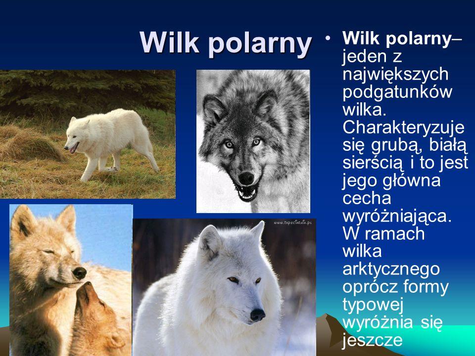 Wilk polarny Wilk polarny– jeden z największych podgatunków wilka. Charakteryzuje się grubą, białą sierścią i to jest jego główna cecha wyróżniająca.