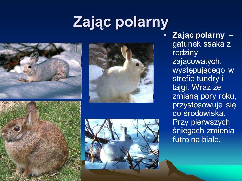 Zając polarny Zając polarny – gatunek ssaka z rodziny zającowatych, występującego w strefie tundry i tajgi. Wraz ze zmianą pory roku, przystosowuje si