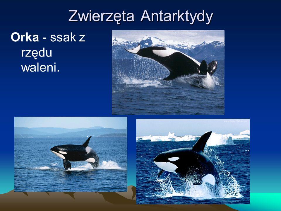 Zwierzęta Antarktydy Orka - ssak z rzędu waleni.