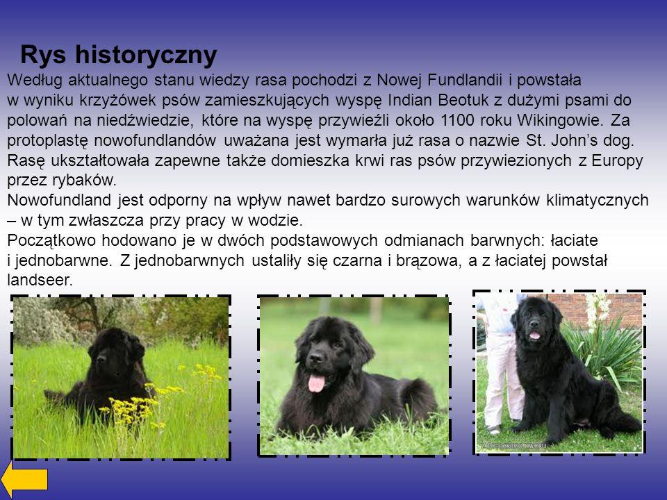 Rys historyczny Według aktualnego stanu wiedzy rasa pochodzi z Nowej Fundlandii i powstała w wyniku krzyżówek psów zamieszkujących wyspę Indian Beotuk z dużymi psami do polowań na niedźwiedzie, które na wyspę przywieźli około 1100 roku Wikingowie.