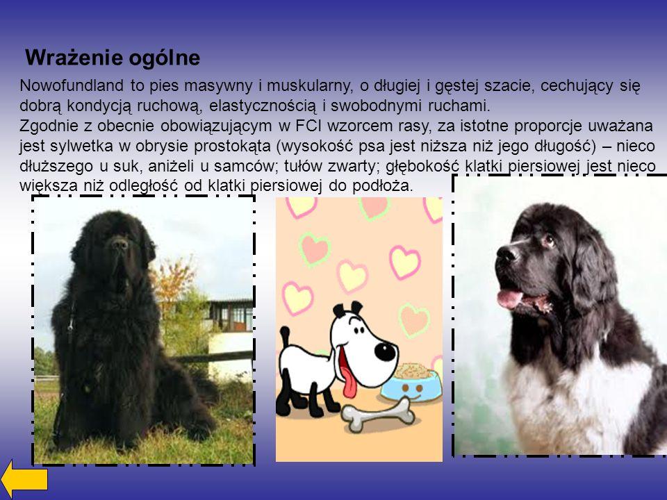 Wrażenie ogólne Nowofundland to pies masywny i muskularny, o długiej i gęstej szacie, cechujący się dobrą kondycją ruchową, elastycznością i swobodnymi ruchami.