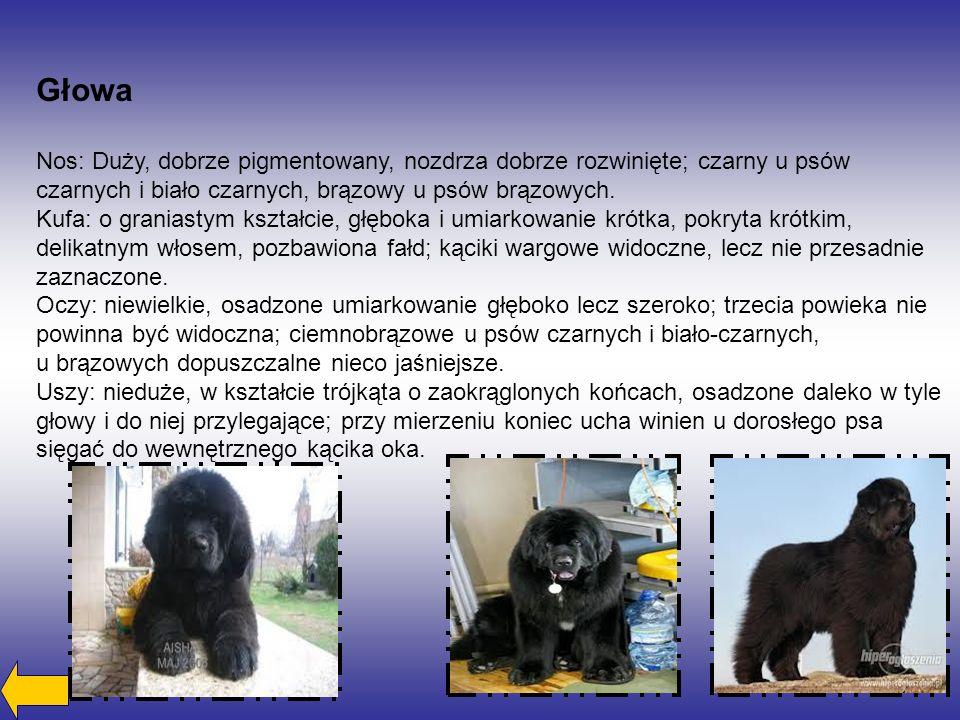 Nos: Duży, dobrze pigmentowany, nozdrza dobrze rozwinięte; czarny u psów czarnych i biało czarnych, brązowy u psów brązowych.
