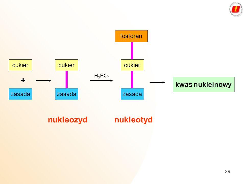 29 cukier + H 3 PO 4 fosforan kwas nukleinowy zasada cukier zasada cukier zasada nukleozydnukleotyd