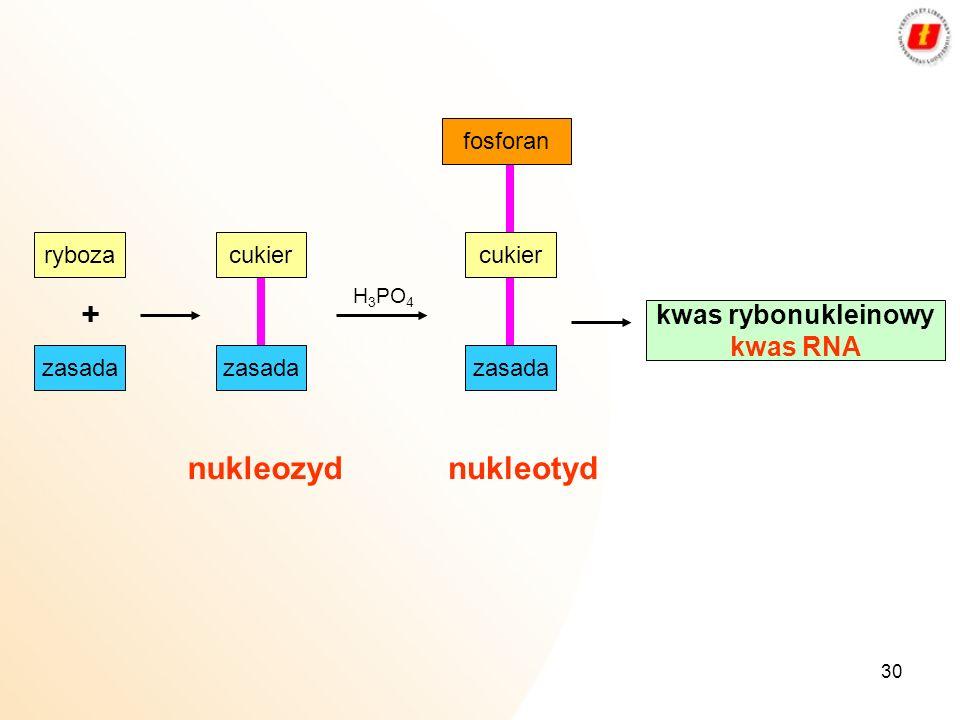 30 ryboza + H 3 PO 4 fosforan kwas rybonukleinowy kwas RNA zasada cukier zasada cukier zasada nukleozydnukleotyd