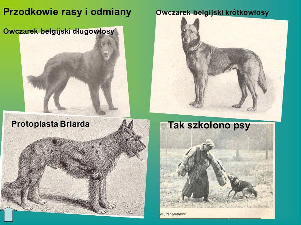 Owczarek belgijski długowłosy Owczarek belgijski krótkowłosy Tak szkolono psy Protoplasta Briarda Przodkowie rasy i odmiany