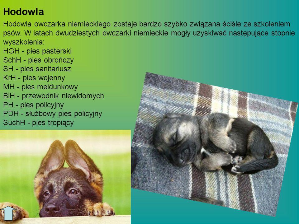 Hodowla owczarka niemieckiego zostaje bardzo szybko związana ściśle ze szkoleniem psów. W latach dwudziestych owczarki niemieckie mogły uzyskiwać nast