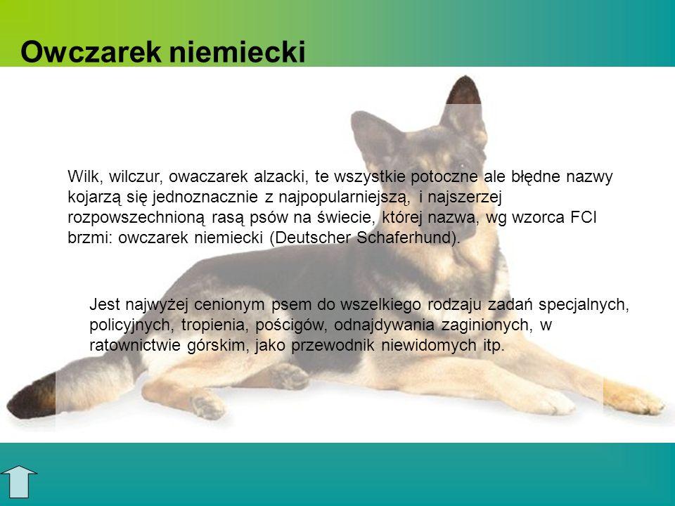 Owczarek niemiecki Wilk, wilczur, owaczarek alzacki, te wszystkie potoczne ale błędne nazwy kojarzą się jednoznacznie z najpopularniejszą, i najszerze