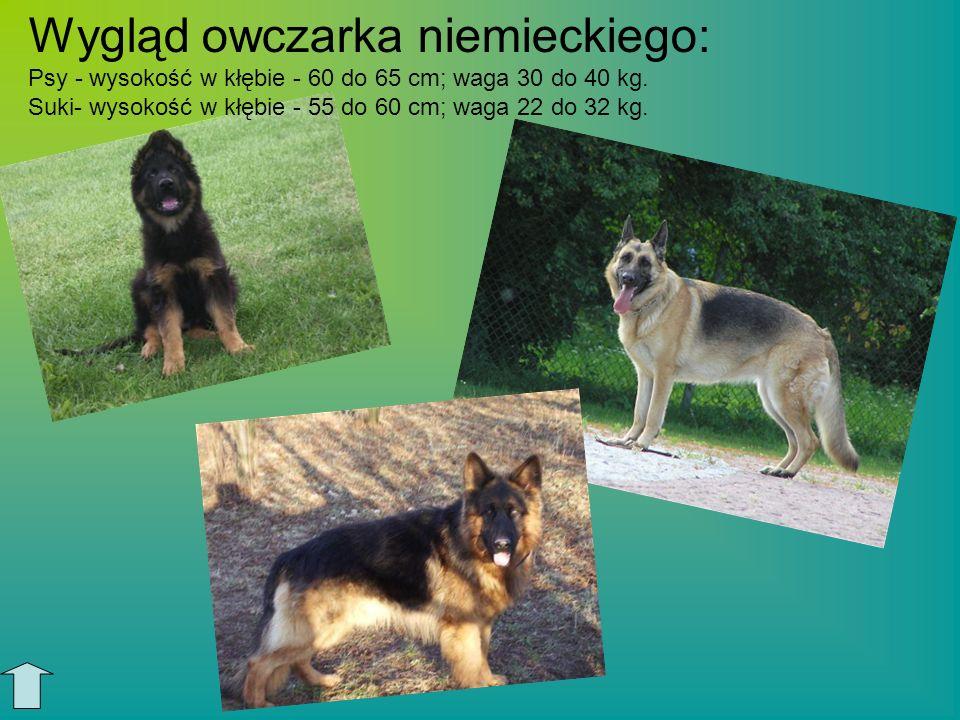 Wygląd owczarka niemieckiego: Psy - wysokość w kłębie - 60 do 65 cm; waga 30 do 40 kg. Suki- wysokość w kłębie - 55 do 60 cm; waga 22 do 32 kg.