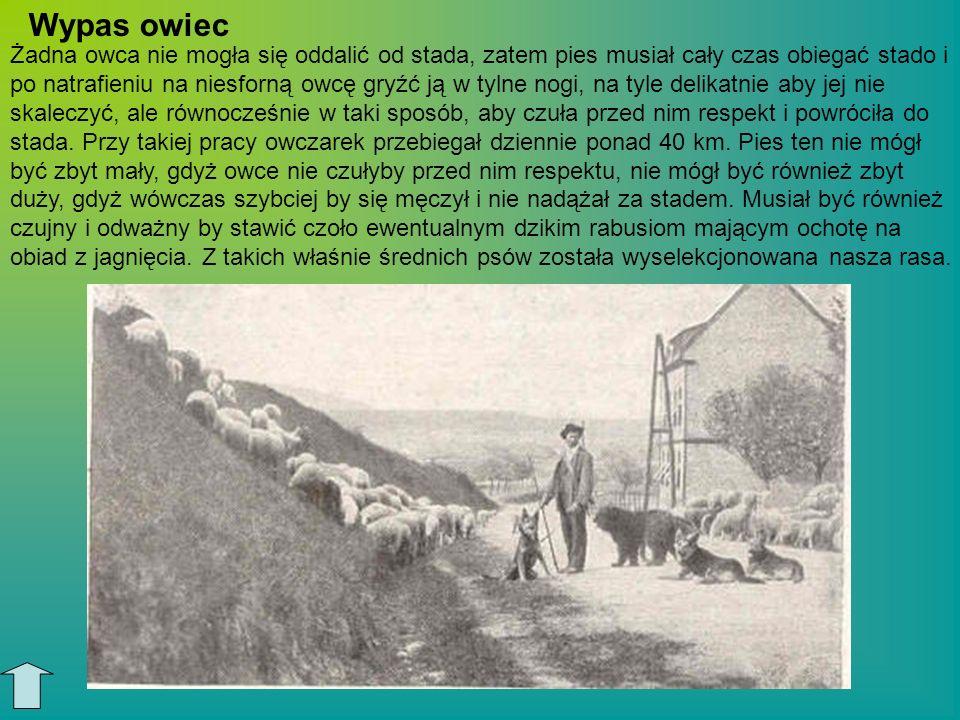 Żadna owca nie mogła się oddalić od stada, zatem pies musiał cały czas obiegać stado i po natrafieniu na niesforną owcę gryźć ją w tylne nogi, na tyle