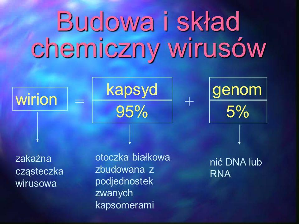 Budowa i skład chemiczny wirusów wirion kapsyd 95% genom 5% =+ zakaźna cząsteczka wirusowa otoczka białkowa zbudowana z podjednostek zwanych kapsomera