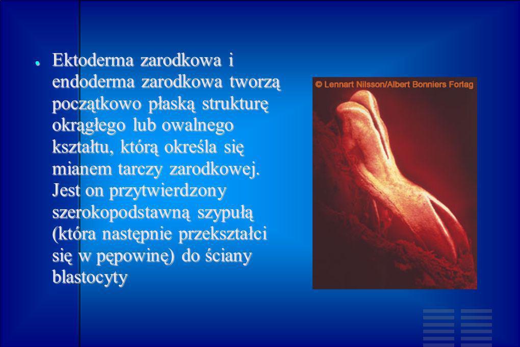 Ektoderma zarodkowa i endoderma zarodkowa tworzą początkowo płaską strukturę okrągłego lub owalnego kształtu, którą określa się mianem tarczy zarodkow