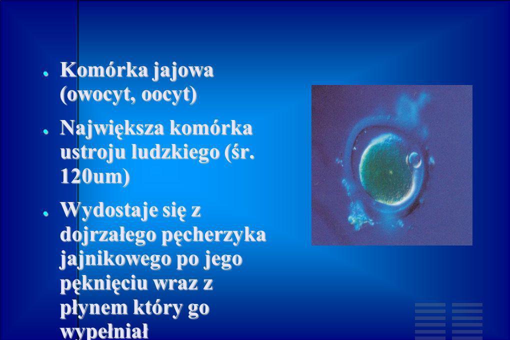 Komórka jajowa (owocyt, oocyt) Komórka jajowa (owocyt, oocyt) Największa komórka ustroju ludzkiego (śr. 120um) Największa komórka ustroju ludzkiego (ś