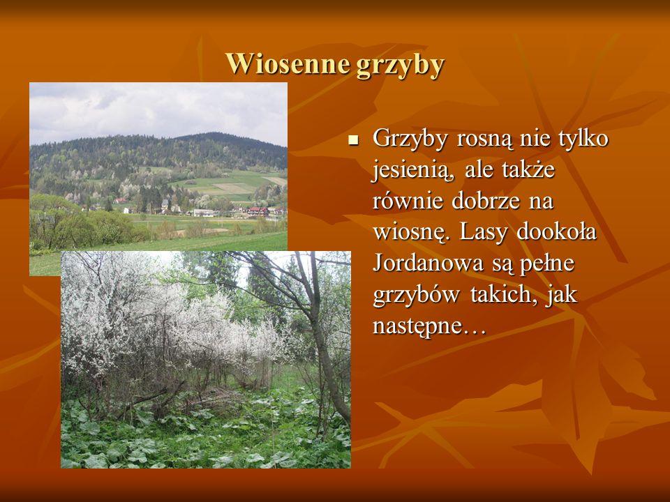 Wiosenne grzyby Grzyby rosną nie tylko jesienią, ale także równie dobrze na wiosnę. Lasy dookoła Jordanowa są pełne grzybów takich, jak następne… Grzy