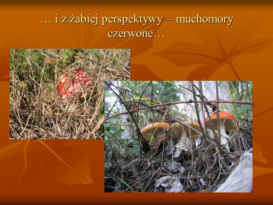 … i z żabiej perspektywy – muchomory czerwone…