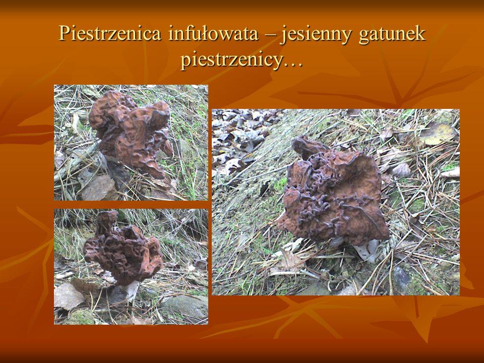 Piestrzenica infułowata – jesienny gatunek piestrzenicy…