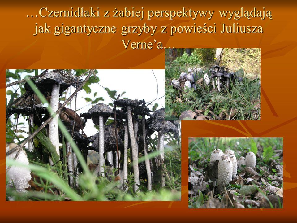 …Czernidłaki z żabiej perspektywy wyglądają jak gigantyczne grzyby z powieści Juliusza Vernea…
