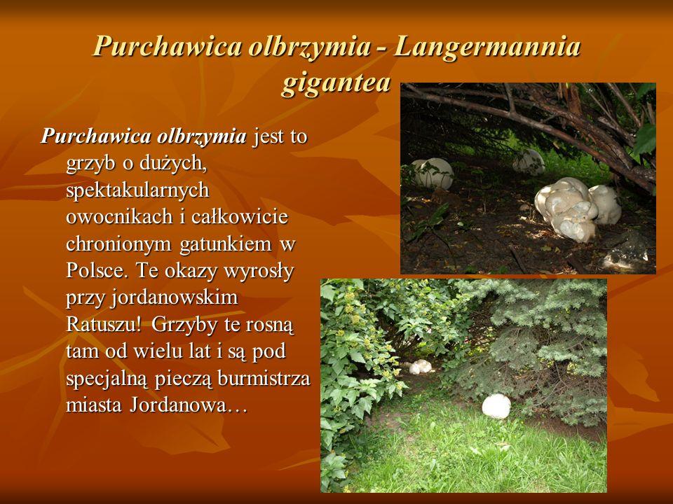 Purchawica olbrzymia - Langermannia gigantea Purchawica olbrzymia jest to grzyb o dużych, spektakularnych owocnikach i całkowicie chronionym gatunkiem