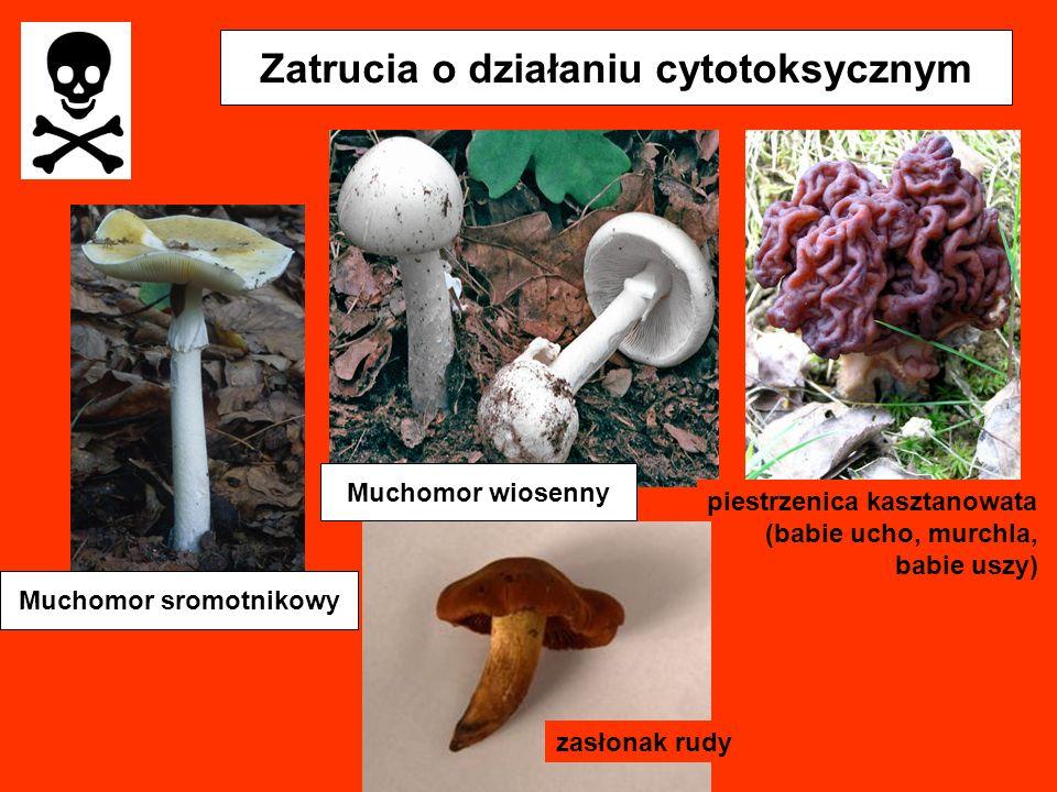 Zatrucia o działaniu cytotoksycznym Muchomor sromotnikowy piestrzenica kasztanowata (babie ucho, murchla, babie uszy) Muchomor wiosenny zasłonak rudy