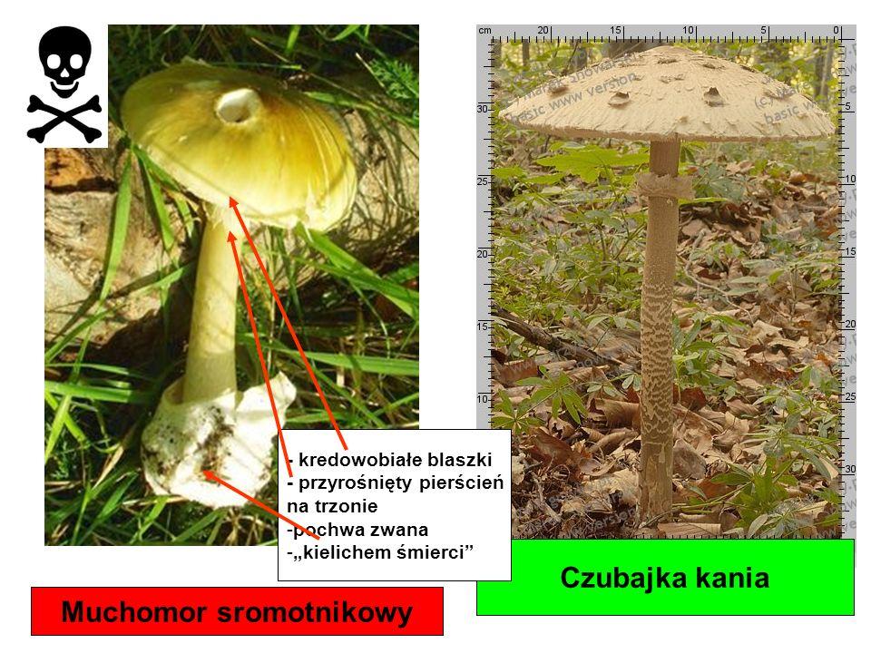 Muchomor sromotnikowy Czubajka kania - kredowobiałe blaszki - przyrośnięty pierścień na trzonie -pochwa zwana -kielichem śmierci