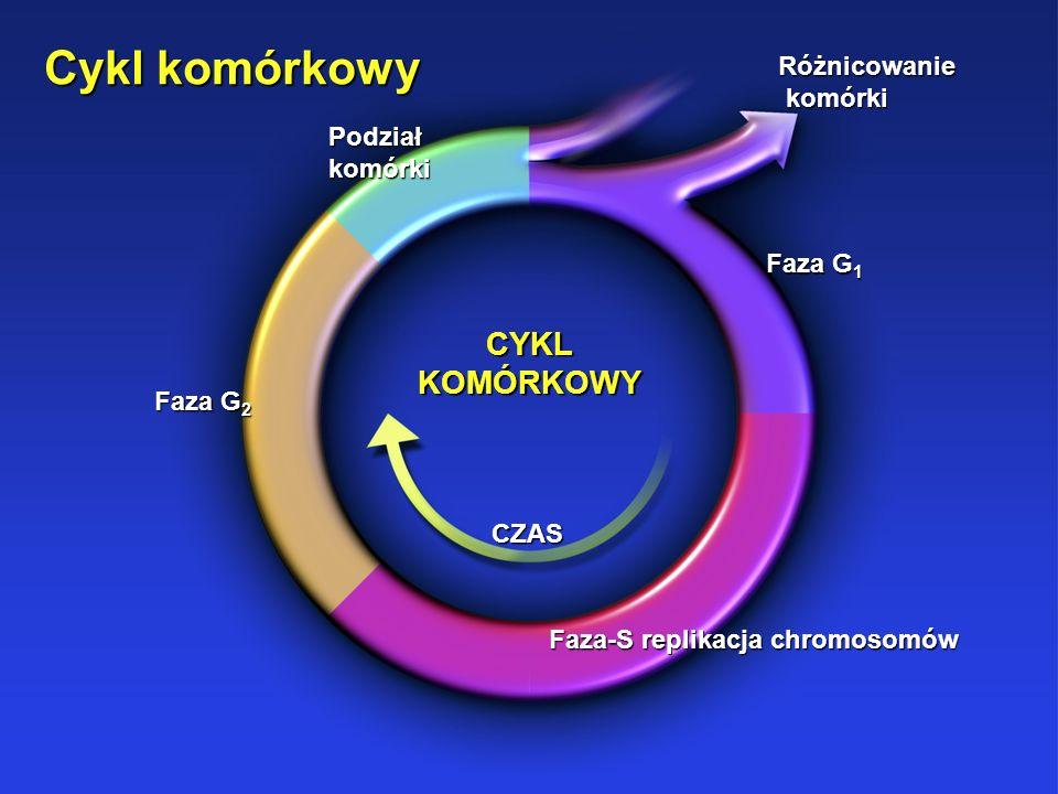 Cykl komórkowy Różnicowanie komórki komórki CYKL KOMÓRKOWY CZAS Podział komórki Faza G 2 Faza-S replikacja chromosomów Faza G 1