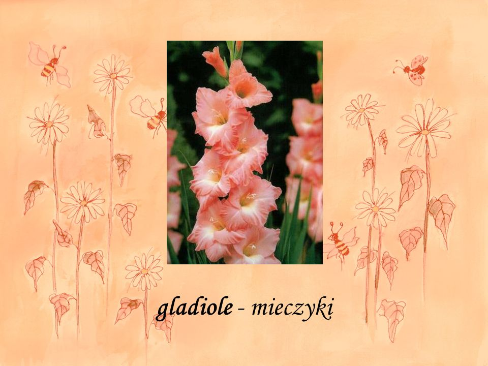 gladiole - mieczyki