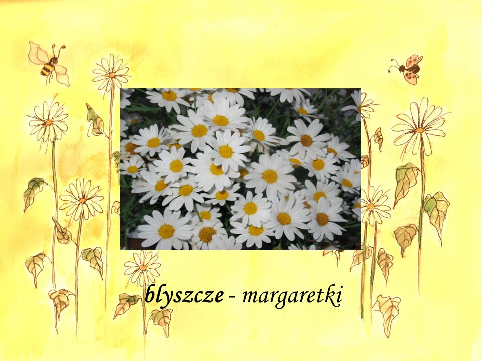 blyszcze - margaretki