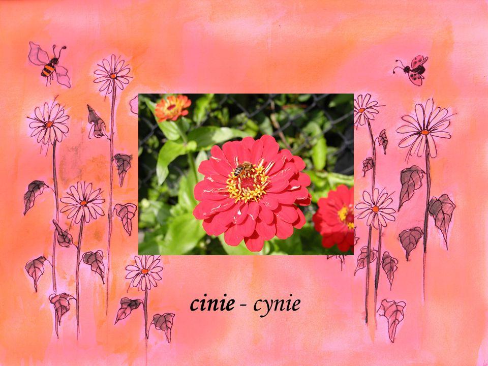 cinie - cynie