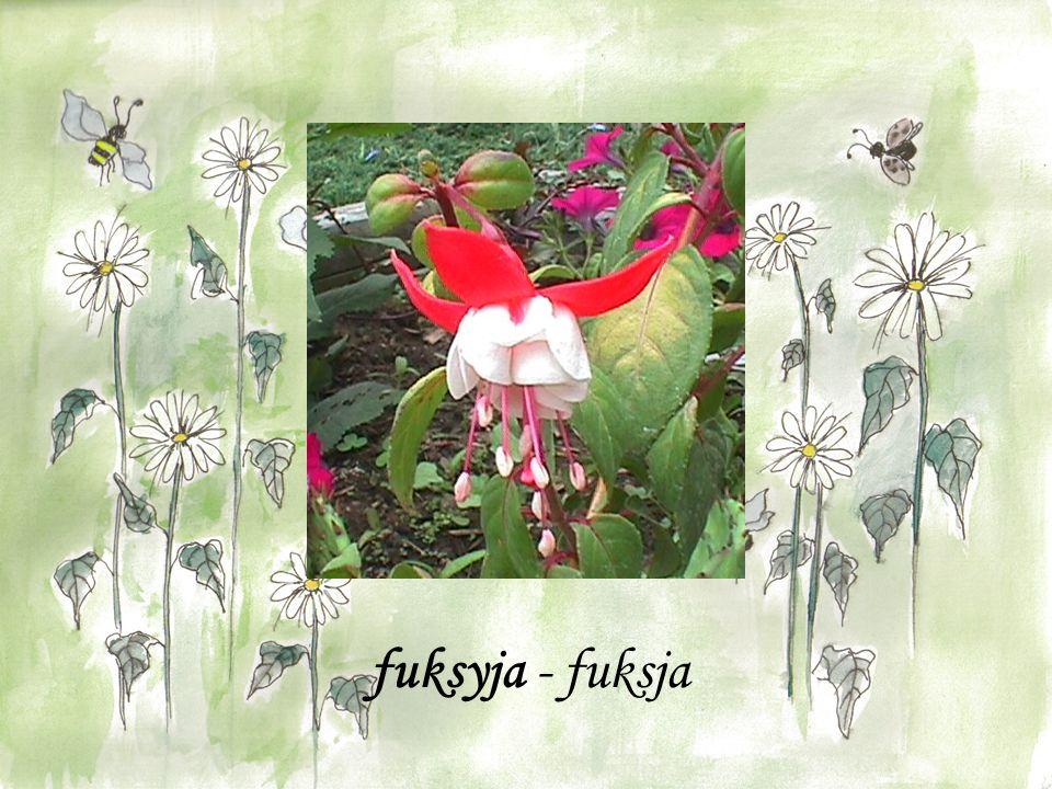 fuksyja - fuksja