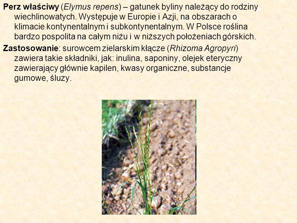 Perz właściwy (Elymus repens) – gatunek byliny należący do rodziny wiechlinowatych. Występuje w Europie i Azji, na obszarach o klimacie kontynentalnym