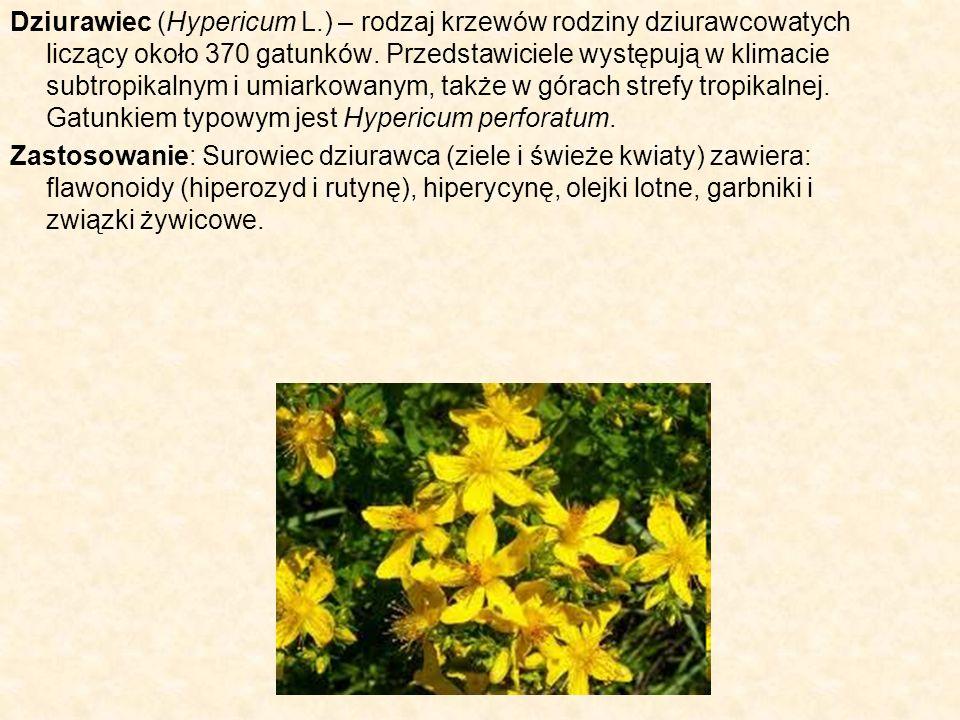 Dziurawiec (Hypericum L.) – rodzaj krzewów rodziny dziurawcowatych liczący około 370 gatunków. Przedstawiciele występują w klimacie subtropikalnym i u