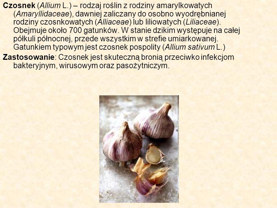 Czosnek (Allium L.) – rodzaj roślin z rodziny amarylkowatych (Amaryllidaceae), dawniej zaliczany do osobno wyodrębnianej rodziny czosnkowatych (Alliac