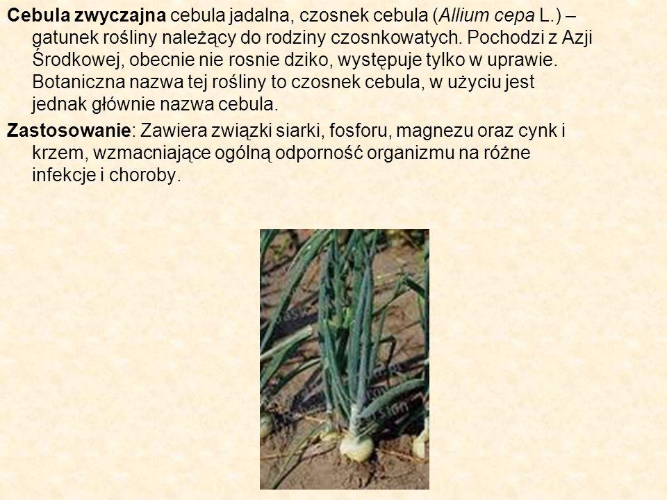 Cebula zwyczajna cebula jadalna, czosnek cebula (Allium cepa L.) – gatunek rośliny należący do rodziny czosnkowatych. Pochodzi z Azji Środkowej, obecn