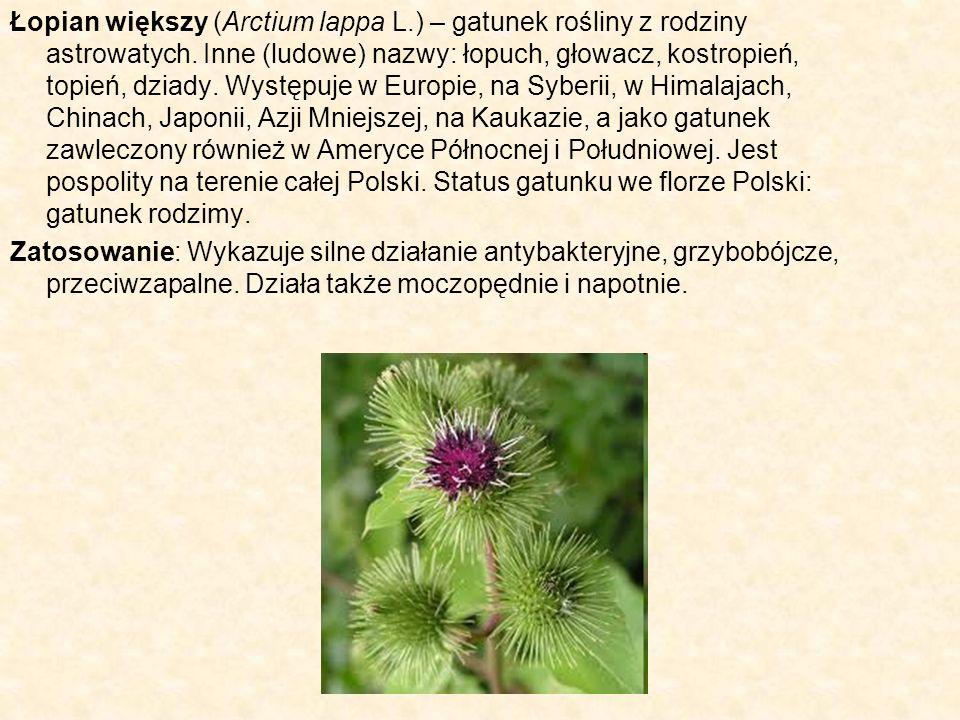 Łopian większy (Arctium lappa L.) – gatunek rośliny z rodziny astrowatych. Inne (ludowe) nazwy: łopuch, głowacz, kostropień, topień, dziady. Występuje