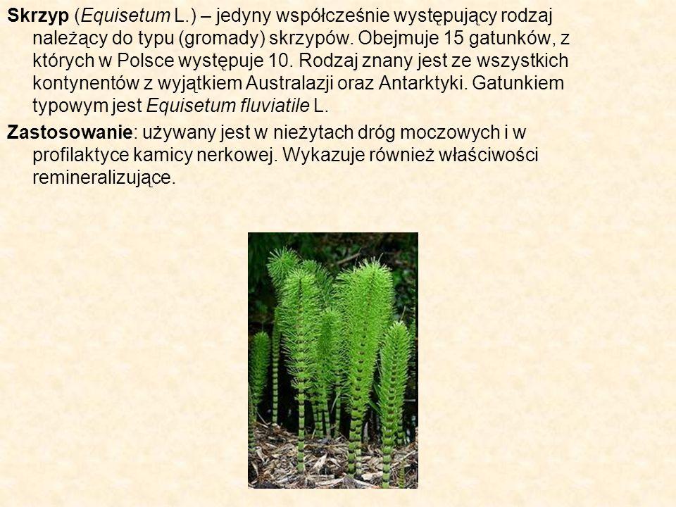 Skrzyp (Equisetum L.) – jedyny współcześnie występujący rodzaj należący do typu (gromady) skrzypów. Obejmuje 15 gatunków, z których w Polsce występuje