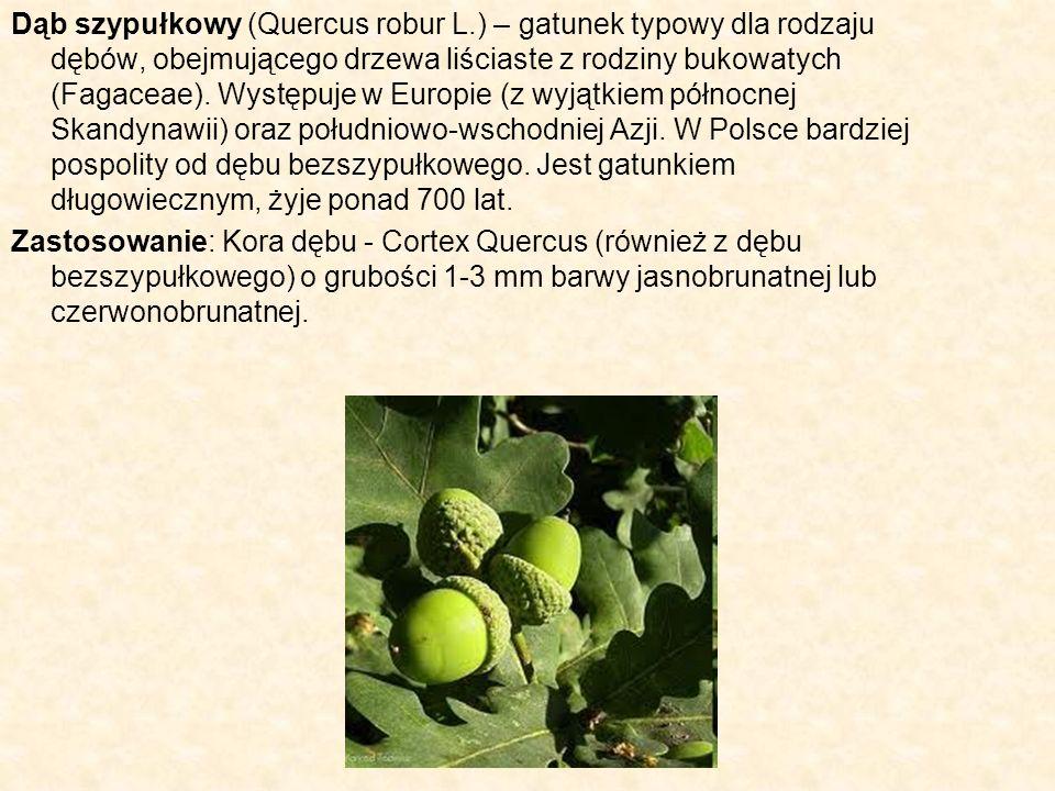 Dąb szypułkowy (Quercus robur L.) – gatunek typowy dla rodzaju dębów, obejmującego drzewa liściaste z rodziny bukowatych (Fagaceae). Występuje w Europ