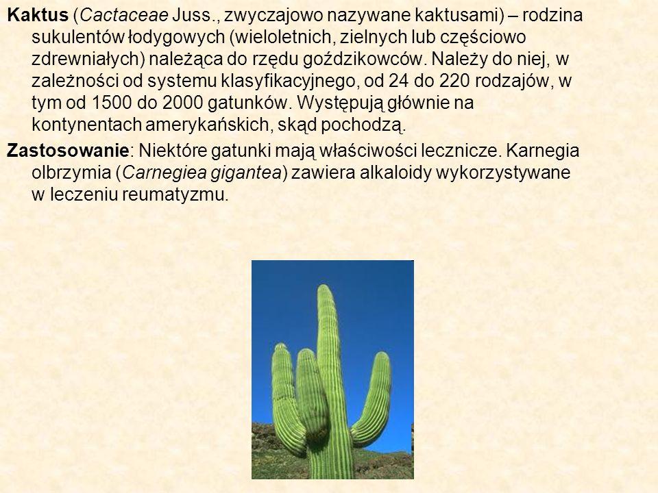 Kaktus (Cactaceae Juss., zwyczajowo nazywane kaktusami) – rodzina sukulentów łodygowych (wieloletnich, zielnych lub częściowo zdrewniałych) należąca d