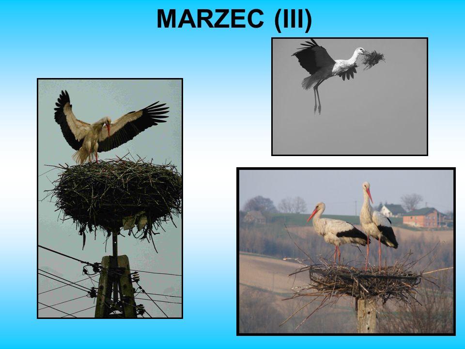MARZEC (III)