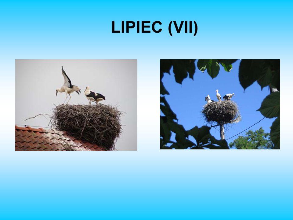 LIPIEC (VII)