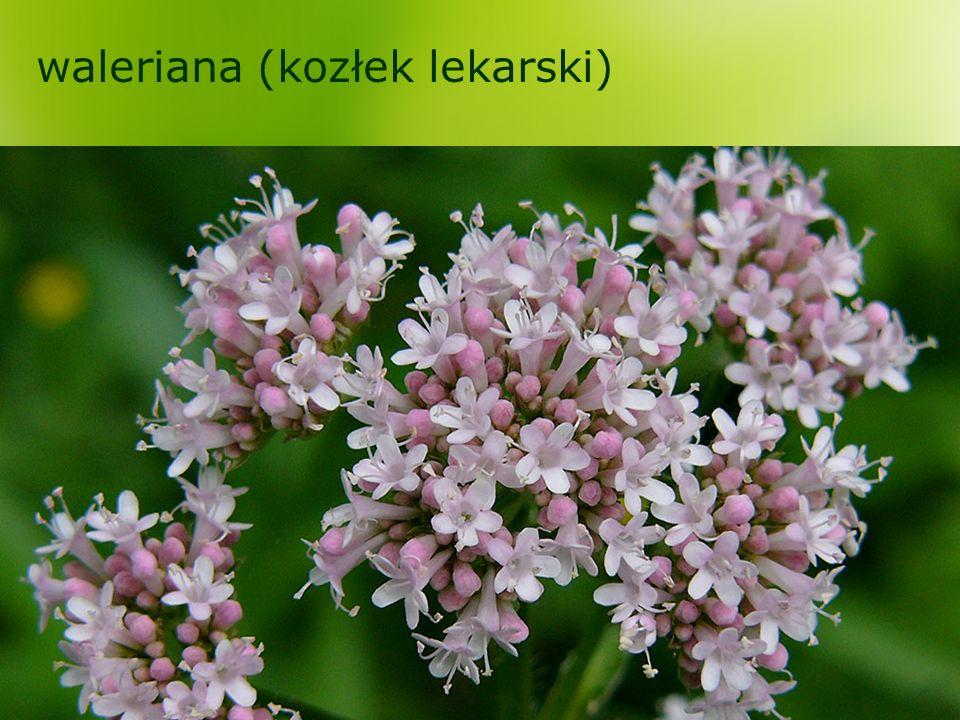 waleriana (kozłek lekarski)