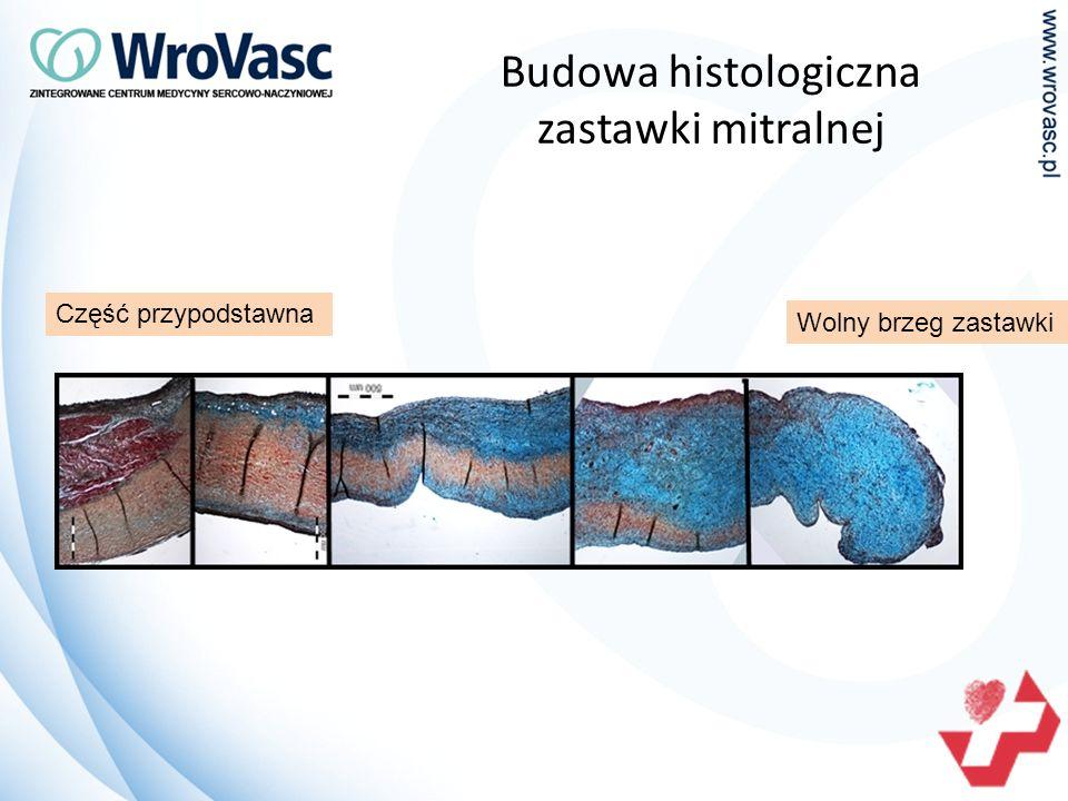 Budowa histologiczna zastawki mitralnej Wolny brzeg zastawki Część przypodstawna