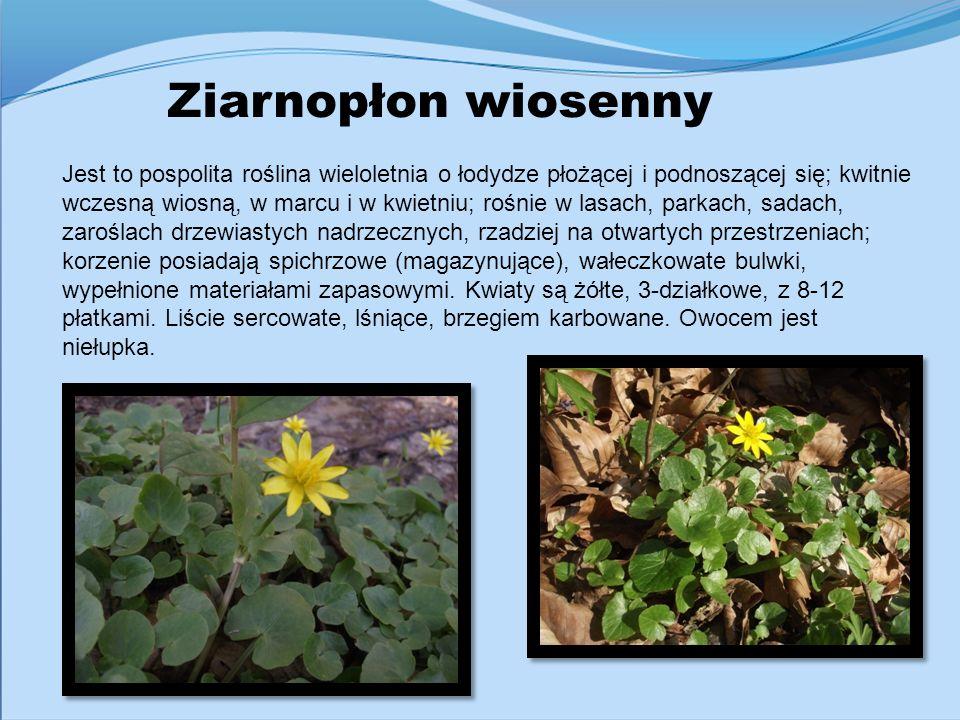 Ziarnopłon wiosenny Jest to pospolita roślina wieloletnia o łodydze płożącej i podnoszącej się; kwitnie wczesną wiosną, w marcu i w kwietniu; rośnie w