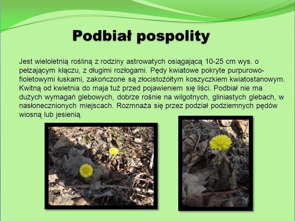 Podbiał pospolity Jest wieloletnią rośliną z rodziny astrowatych osiągającą 10-25 cm wys. o pełzającym kłączu, z długimi rozłogami. Pędy kwiatowe pokr