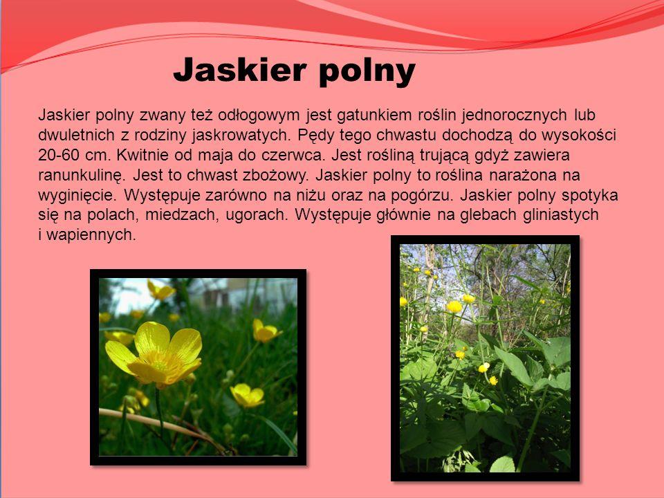 Jaskier polny Jaskier polny zwany też odłogowym jest gatunkiem roślin jednorocznych lub dwuletnich z rodziny jaskrowatych. Pędy tego chwastu dochodzą