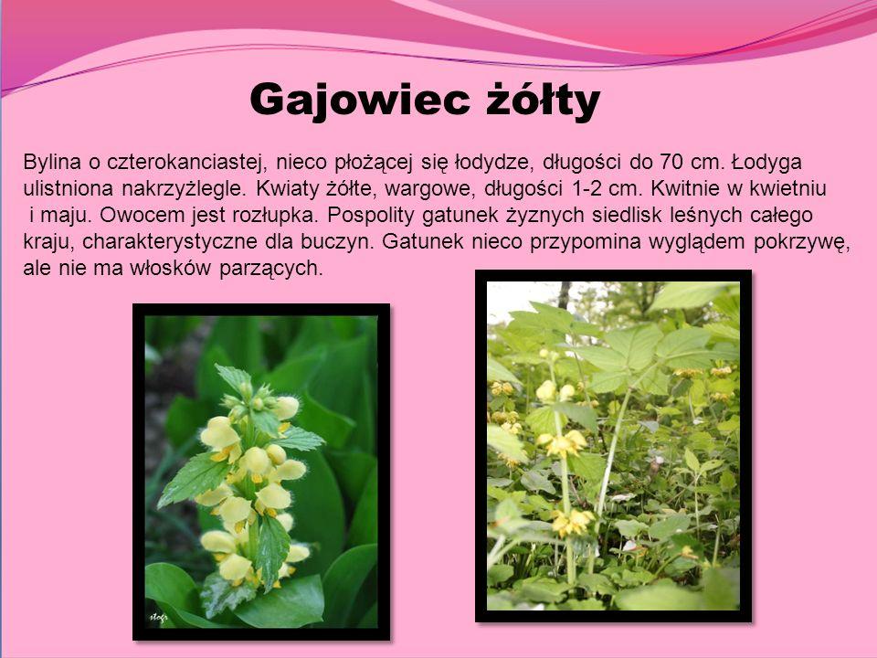 Gajowiec żółty Bylina o czterokanciastej, nieco płożącej się łodydze, długości do 70 cm. Łodyga ulistniona nakrzyżlegle. Kwiaty żółte, wargowe, długoś