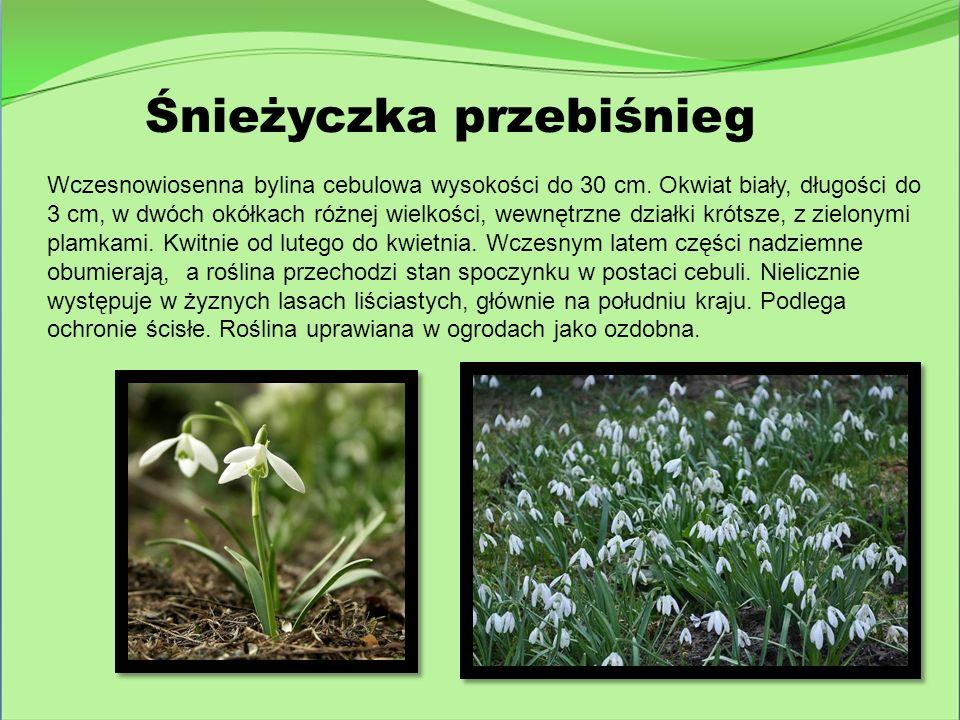 Śnieżyczka przebiśnieg Wczesnowiosenna bylina cebulowa wysokości do 30 cm. Okwiat biały, długości do 3 cm, w dwóch okółkach różnej wielkości, wewnętrz