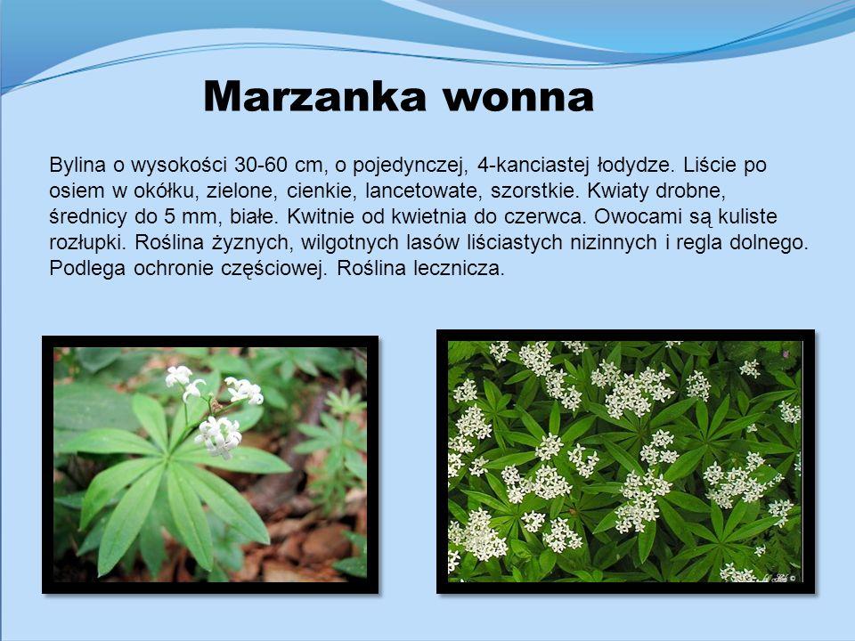Marzanka wonna Bylina o wysokości 30-60 cm, o pojedynczej, 4-kanciastej łodydze. Liście po osiem w okółku, zielone, cienkie, lancetowate, szorstkie. K