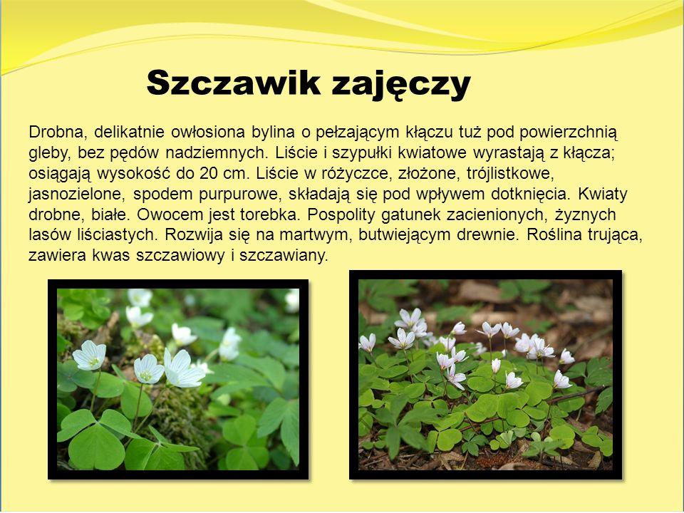 Szczawik zajęczy Drobna, delikatnie owłosiona bylina o pełzającym kłączu tuż pod powierzchnią gleby, bez pędów nadziemnych. Liście i szypułki kwiatowe