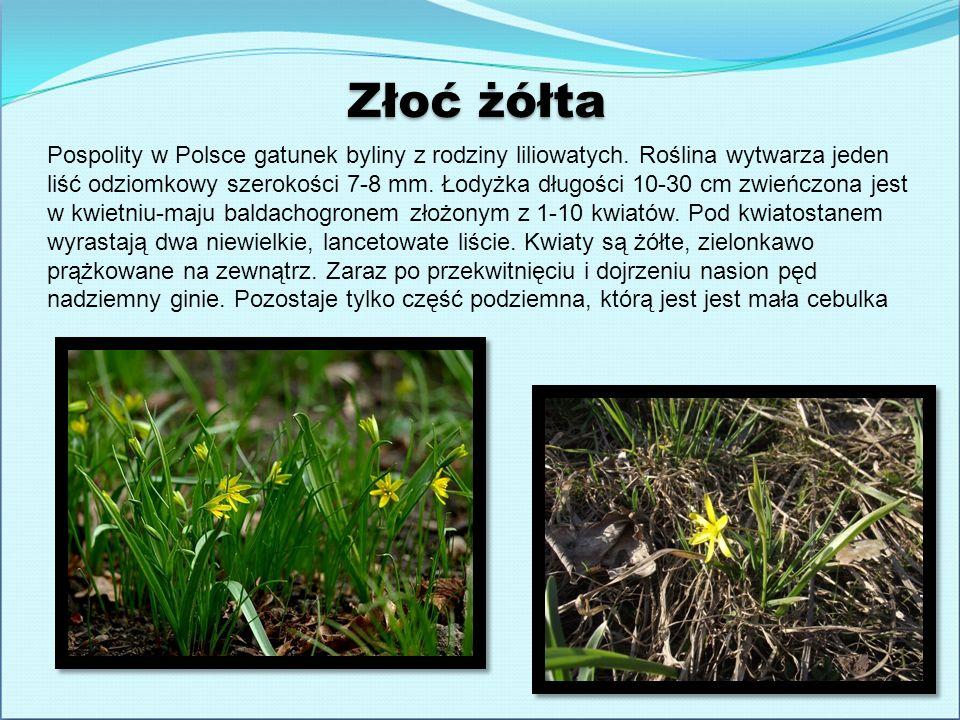 Złoć żółta Pospolity w Polsce gatunek byliny z rodziny liliowatych. Roślina wytwarza jeden liść odziomkowy szerokości 7-8 mm. Łodyżka długości 10-30 c