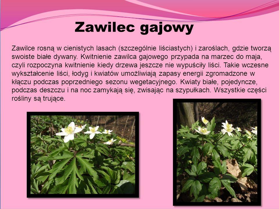 Zawilec gajowy Zawilce rosną w cienistych lasach (szczególnie liściastych) i zaroślach, gdzie tworzą swoiste białe dywany. Kwitnienie zawilca gajowego